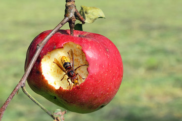 hornet eat apple - farming evil-doer