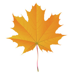 Shiny maple leaf