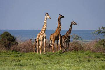 Giraffe libere in Africa