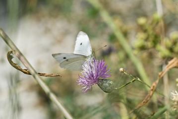 Mariposa blanca sobre una flor púrpura.