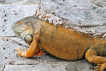 Orange Lizard - Florida Wildlife - Reptiles