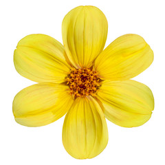 Yellow Dahlia Flower Isolated on White Background