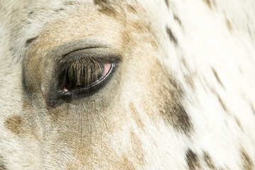 Appaloosa horse close up
