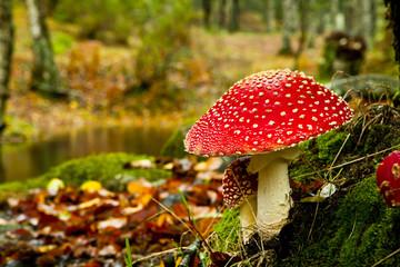 Obraz Amanita poisonous mushroom - fototapety do salonu
