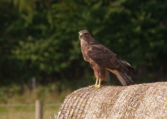 Buzzard on a Bail of Straw