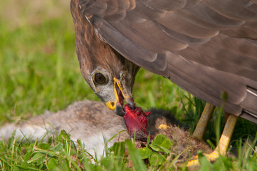 Buzzard eating a rabbit