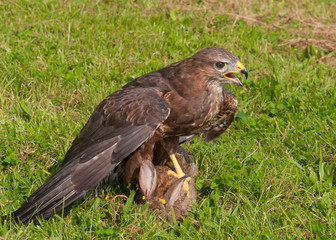 Buzzard and Prey