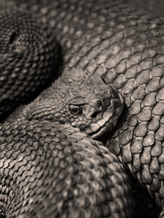 schlangen auge - snake eye