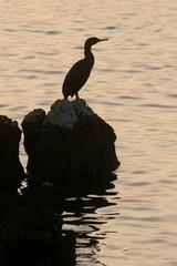 Silhouette of a Kormoran bird