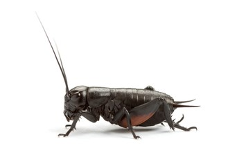 Black cricket