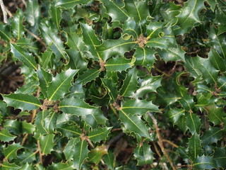 Sprigs of evergreen holly Christmas decoration