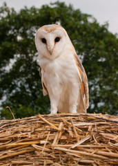 Barn Owl looking down