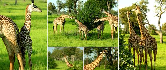 Zambia Giraffe