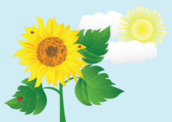 sunflower with ladybugs. vector illustration.