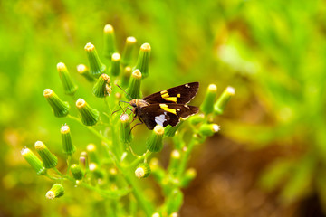 Silver-spotted Skipper Butterfly sitting on a plant