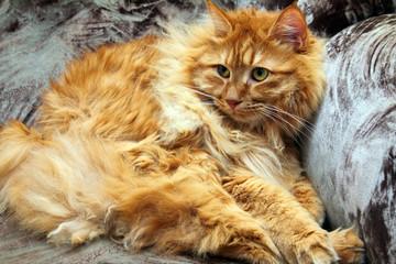 fluffy bobtail cat