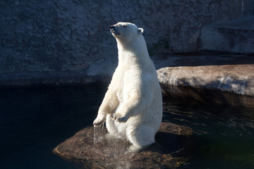 Polar bear standing on the rock