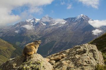 Obraz Mormots in Alps - fototapety do salonu