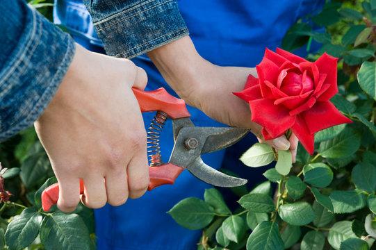 Gardener cuts rose
