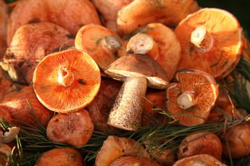 Edible colorful mushroom in sunlight