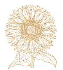 sunflower isolated on white vector line art