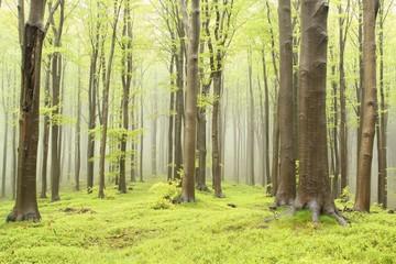 Keuken foto achterwand Bos in mist Spring beech forest on the mountain slope