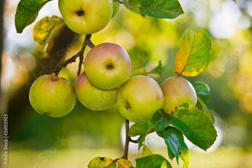 apfelbaum stockfotos und lizenzfreie bilder auf bild 26155925. Black Bedroom Furniture Sets. Home Design Ideas