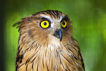 Wall Mural - Eagle owl with piercing yellow eyes.