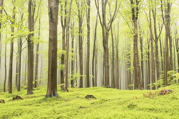 Keuken foto achterwand Bos in mist Landscape of spring beech forest in a nature reserve