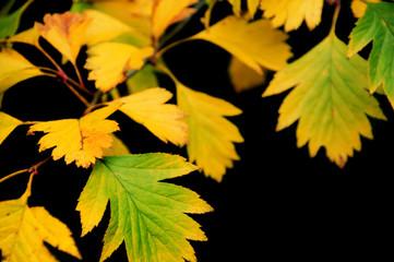 Yellow leaves on black