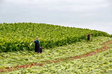 Amish bei der Tabakernte