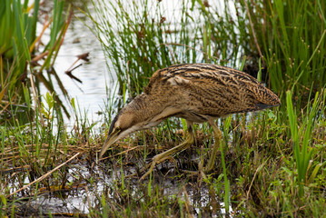 Bittern creeping