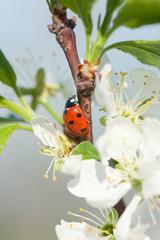 Photo sur Aluminium Coccinelles apple blossoms ladybird