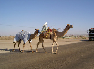 camels crossing the highway