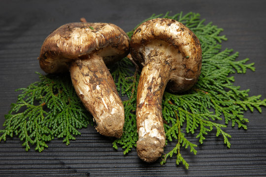 pine mushroom(matsutake mushroom)