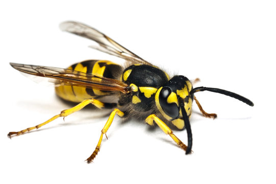 Live wasp isolated on white background