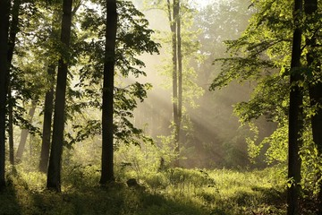 Keuken foto achterwand Bos in mist Spring Forest at dawn after a heavy rainfall