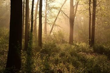 Keuken foto achterwand Bos in mist Spring woods at dawn