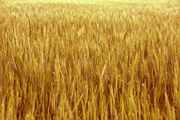 Yellow wheat.