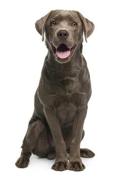 Labrador retriever, 7 months old, sitting