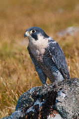 Peregrine Falcon on rock