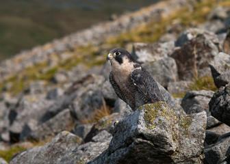 Falcon on rocks