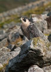 Falcon on rocks (Portrait)