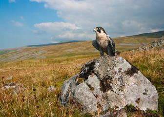 Peregrine falcon wide-angle