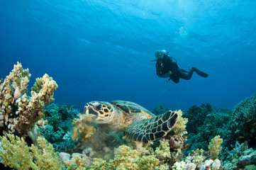 Sea Turtle feeding  with scuba diver