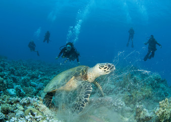 Sea Turtle with scuba divers