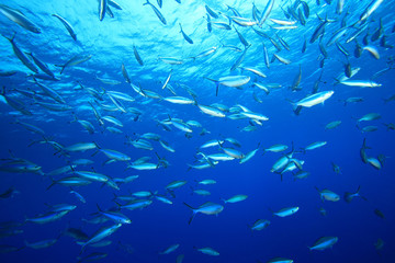 Shoal of Fusilier Fish