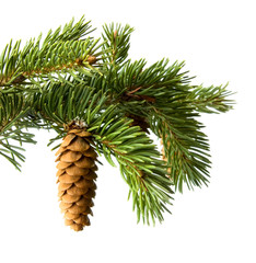 Fir-cone on a branch  isolated on a white background
