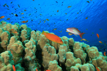 Dome Coral with Grouper and Anthia fish