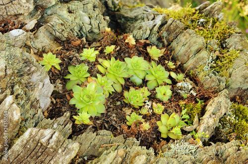 Plantes grasses echeveria dans une souche d 39 arbre photo libre de droits sur la banque d 39 images - Produit destructeur de souche d arbre ...